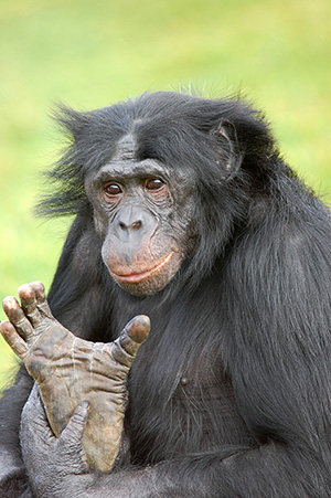 Singe Bonobo coaching